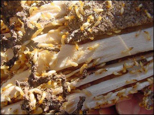 termita0